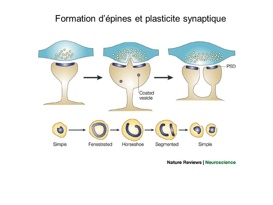Formation d'épines et plasticite synaptique