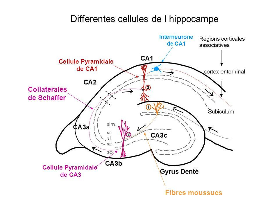Differentes cellules de l hippocampe