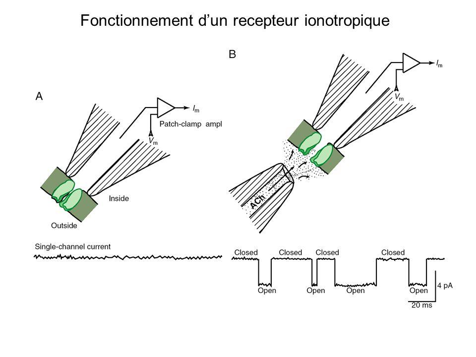 Fonctionnement d'un recepteur ionotropique