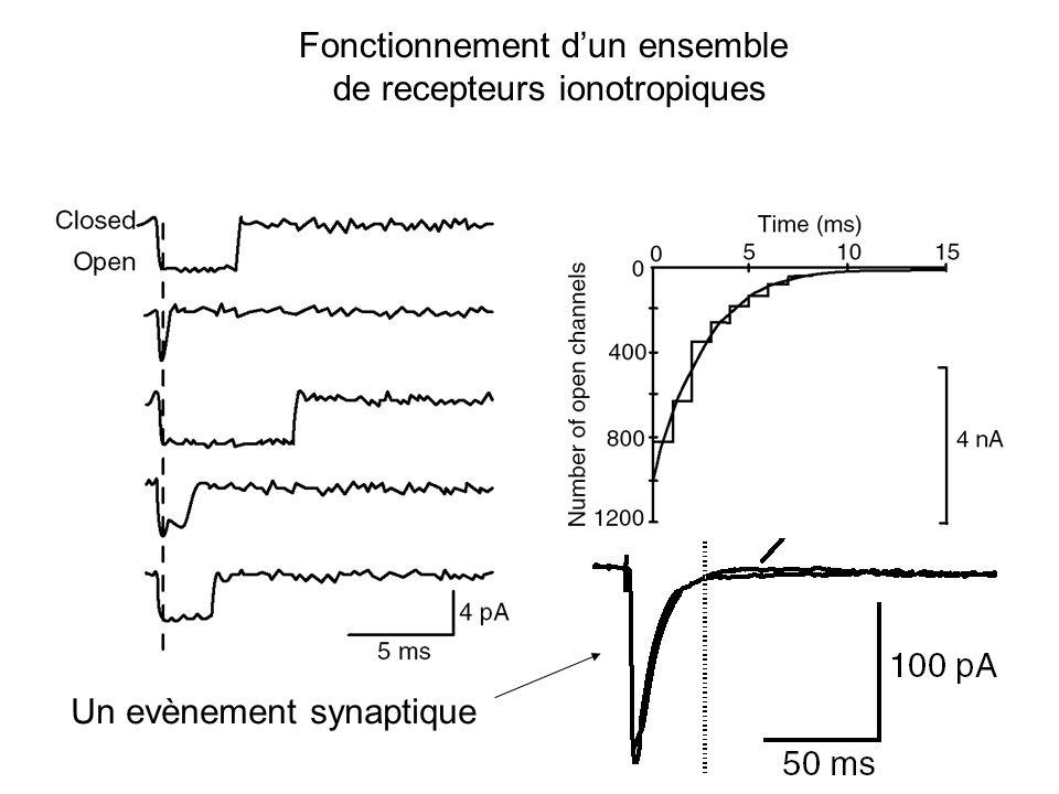 Fonctionnement d'un ensemble de recepteurs ionotropiques
