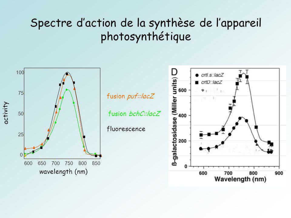 Spectre d'action de la synthèse de l'appareil photosynthétique