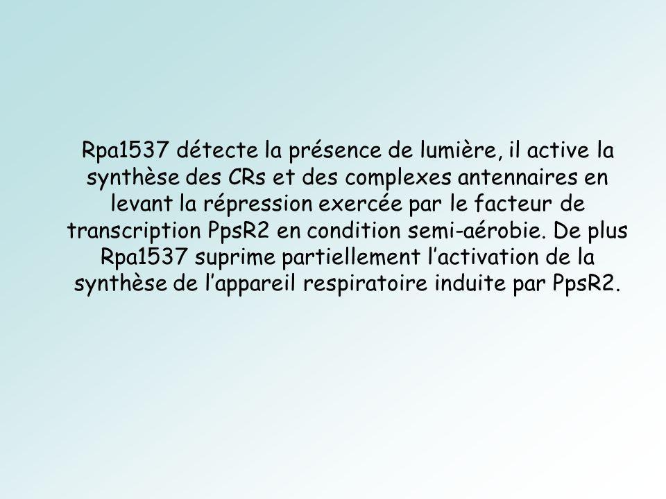 Rpa1537 détecte la présence de lumière, il active la synthèse des CRs et des complexes antennaires en levant la répression exercée par le facteur de transcription PpsR2 en condition semi-aérobie.