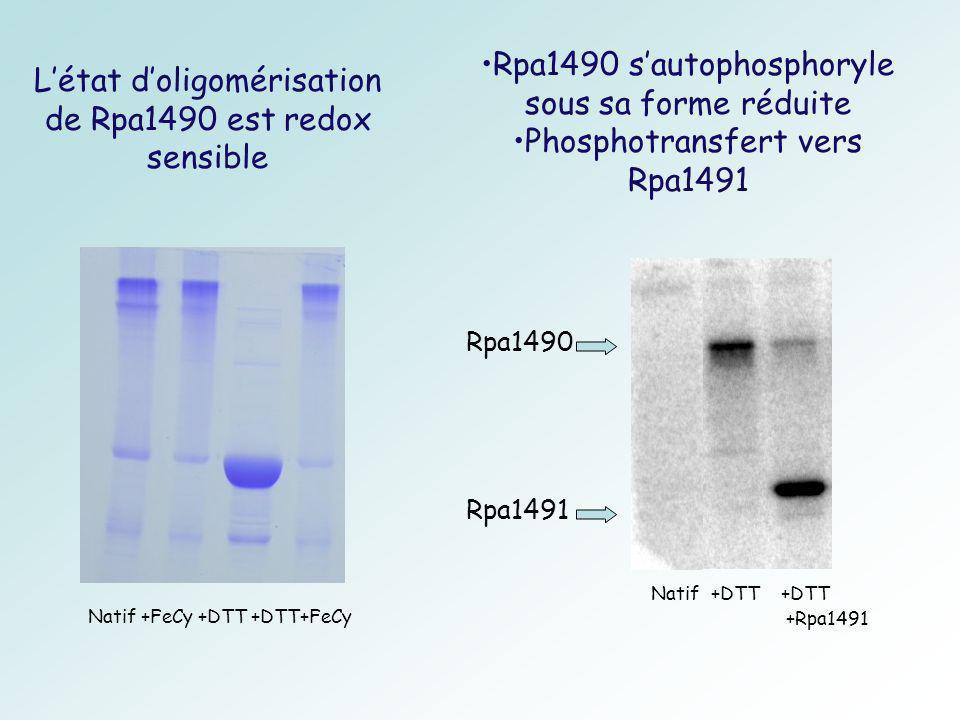 Rpa1490 s'autophosphoryle sous sa forme réduite
