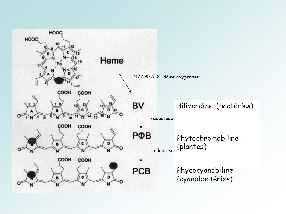 Biliverdine (bactéries)
