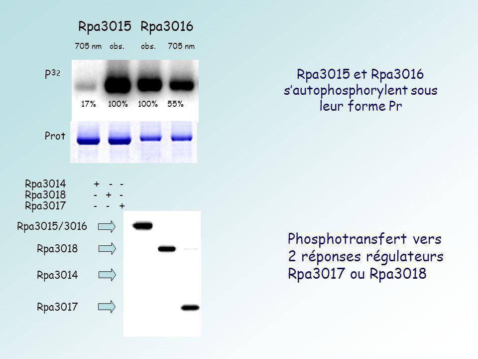 Rpa3015 et Rpa3016 s'autophosphorylent sous leur forme Pr