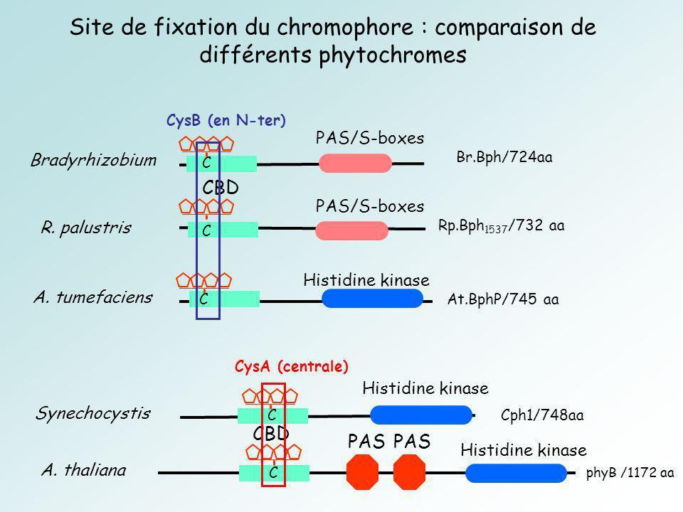 Site de fixation du chromophore : comparaison de différents phytochromes