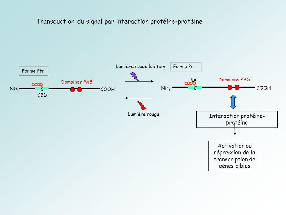 Transduction du signal par interaction protéine-protéine