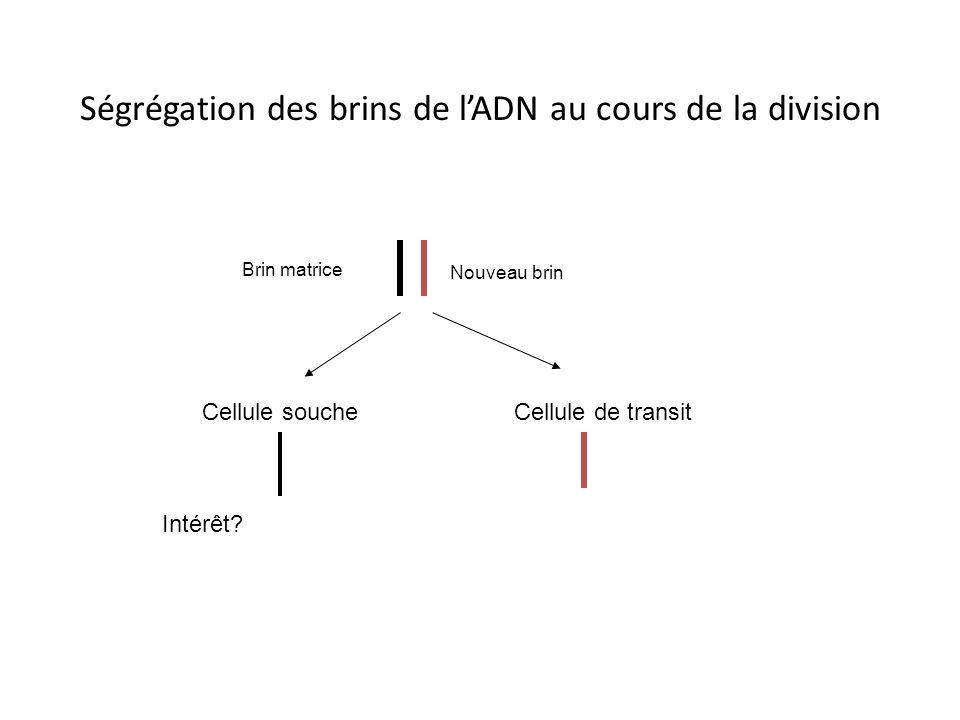 Ségrégation des brins de l'ADN au cours de la division