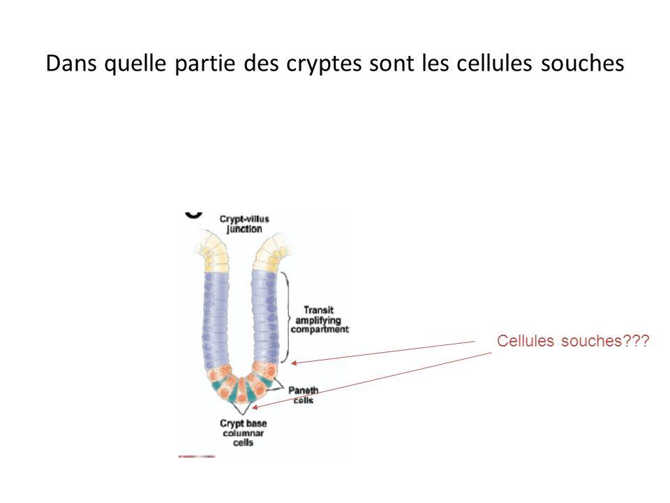 Dans quelle partie des cryptes sont les cellules souches