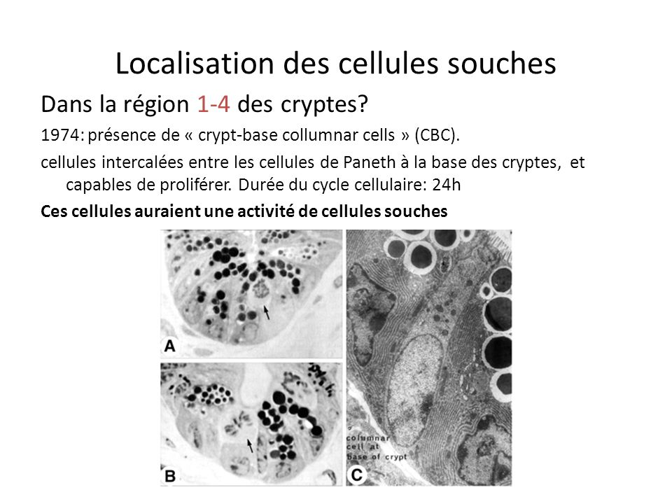 Localisation des cellules souches