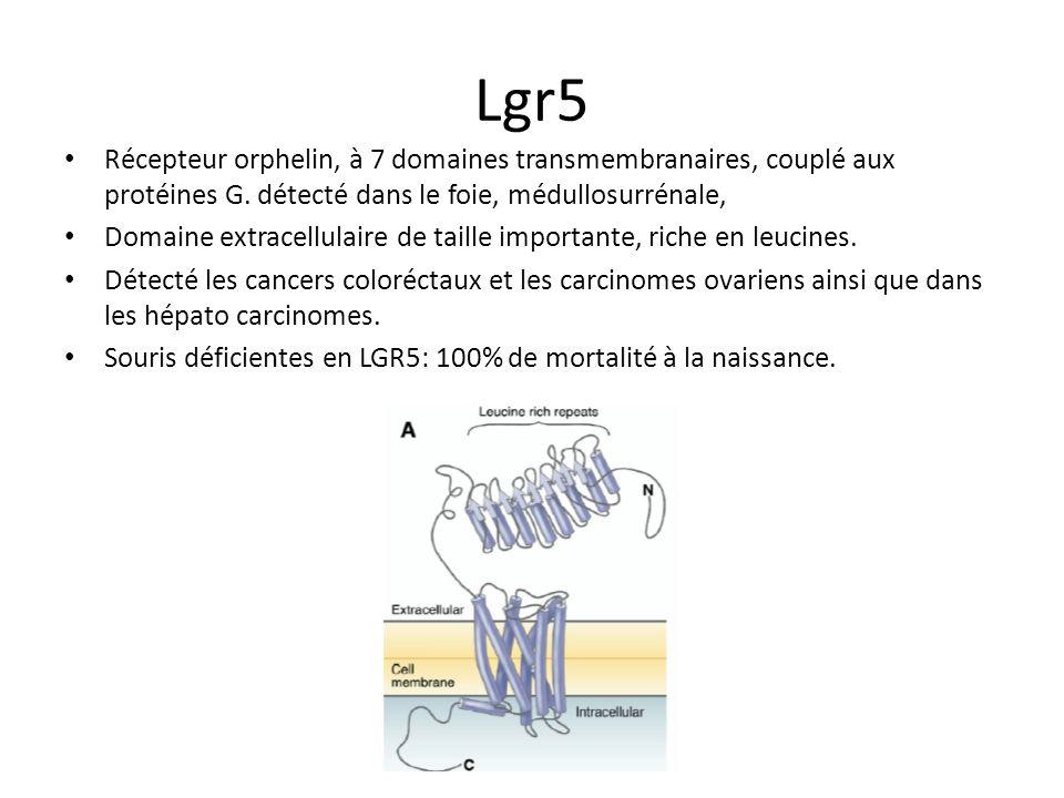 Lgr5 Récepteur orphelin, à 7 domaines transmembranaires, couplé aux protéines G. détecté dans le foie, médullosurrénale,