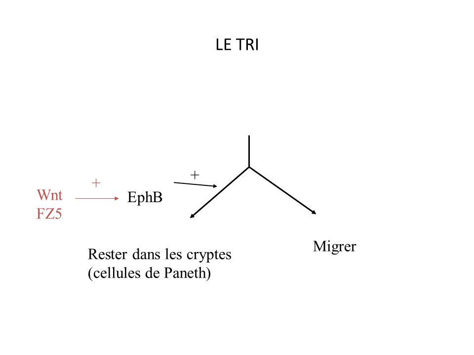 LE TRI + + EphB Wnt FZ5 Migrer Rester dans les cryptes