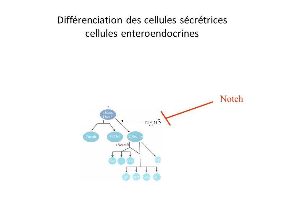 Différenciation des cellules sécrétrices cellules enteroendocrines