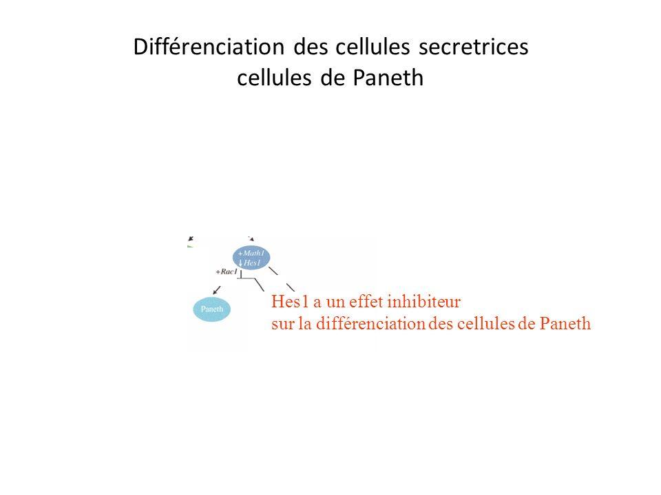 Différenciation des cellules secretrices cellules de Paneth