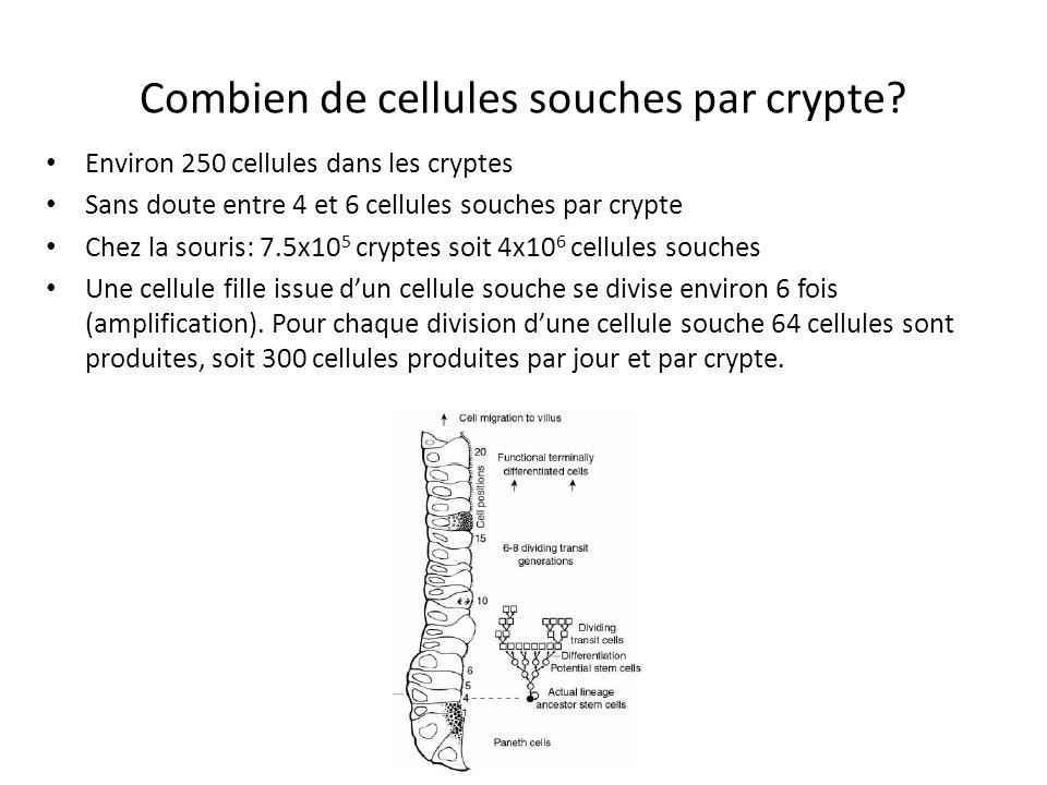 Combien de cellules souches par crypte