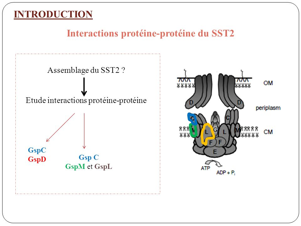 Interactions protéine-protéine du SST2