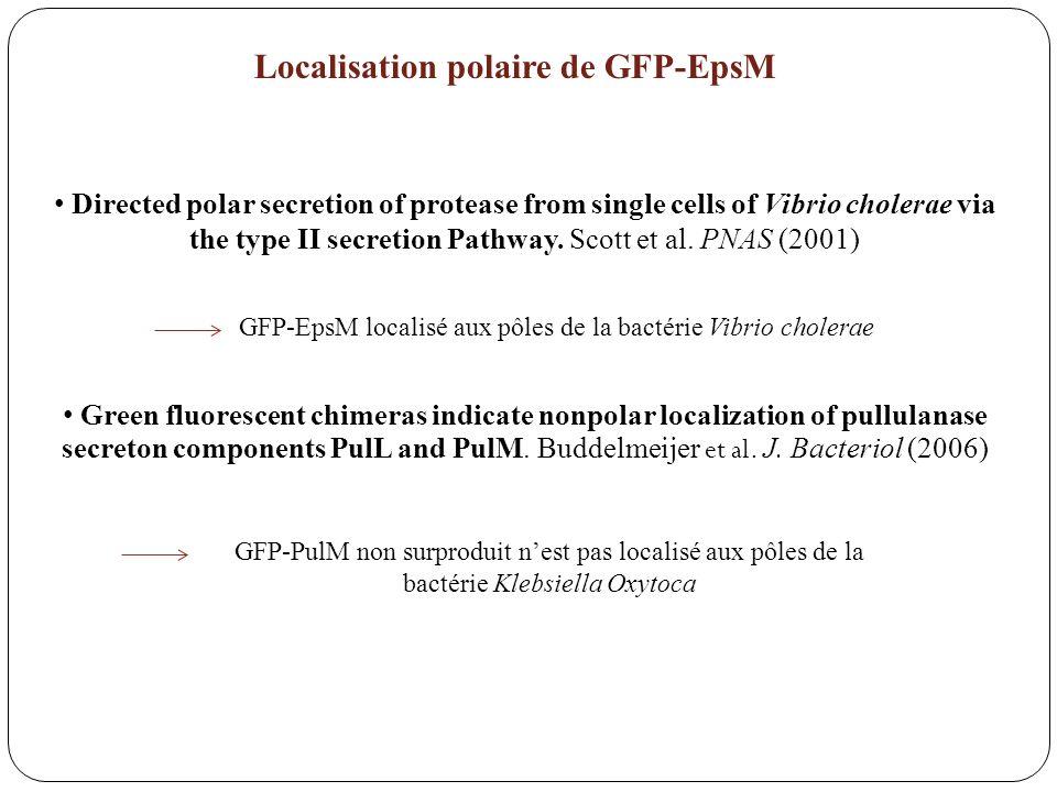 Localisation polaire de GFP-EpsM
