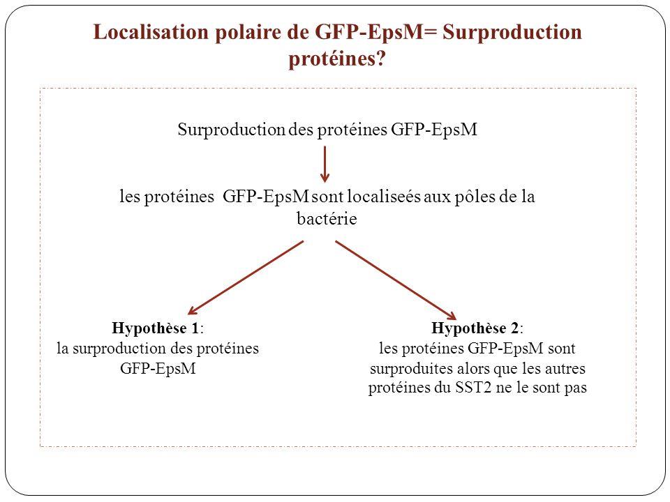 Localisation polaire de GFP-EpsM= Surproduction protéines
