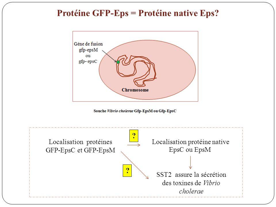 Protéine GFP-Eps = Protéine native Eps
