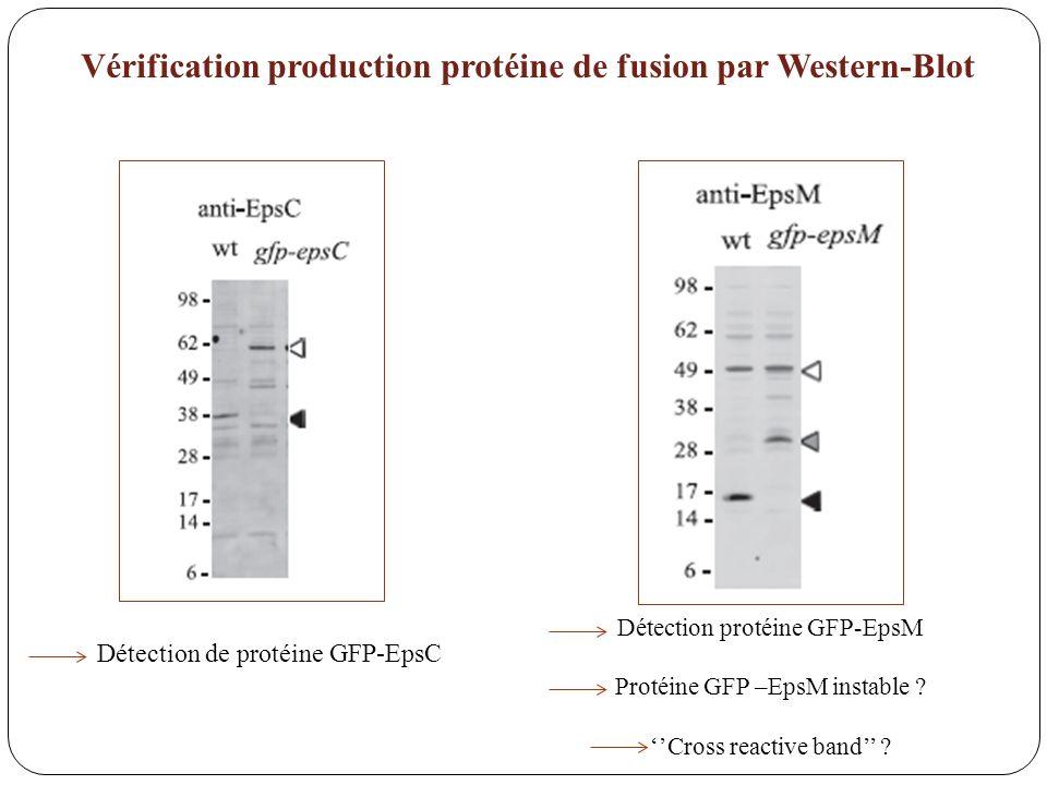 Vérification production protéine de fusion par Western-Blot