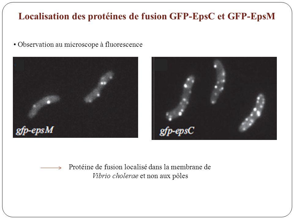 Localisation des protéines de fusion GFP-EpsC et GFP-EpsM