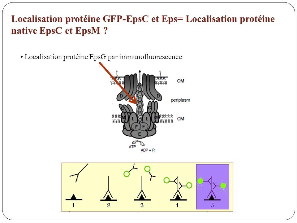 Localisation protéine GFP-EpsC et Eps= Localisation protéine native EpsC et EpsM