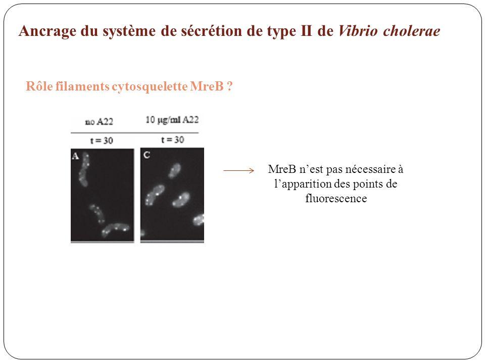MreB n'est pas nécessaire à l'apparition des points de fluorescence