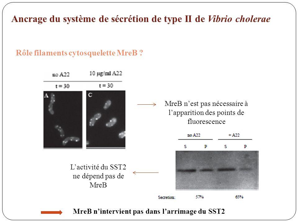 MreB n'intervient pas dans l'arrimage du SST2