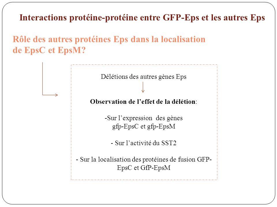 Interactions protéine-protéine entre GFP-Eps et les autres Eps