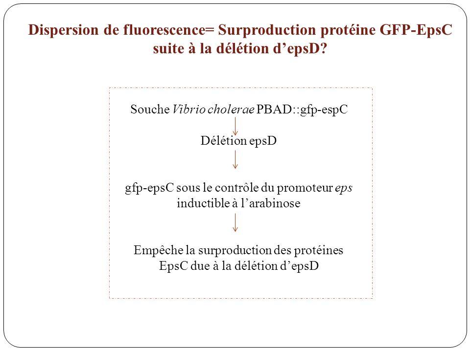 Dispersion de fluorescence= Surproduction protéine GFP-EpsC suite à la délétion d'epsD