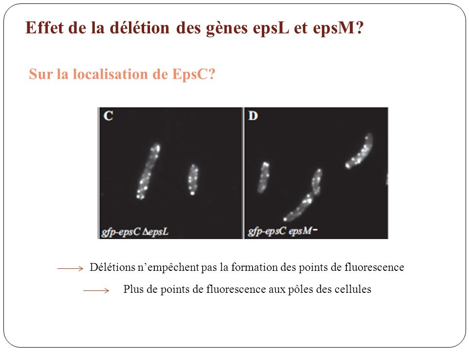 Effet de la délétion des gènes epsL et epsM