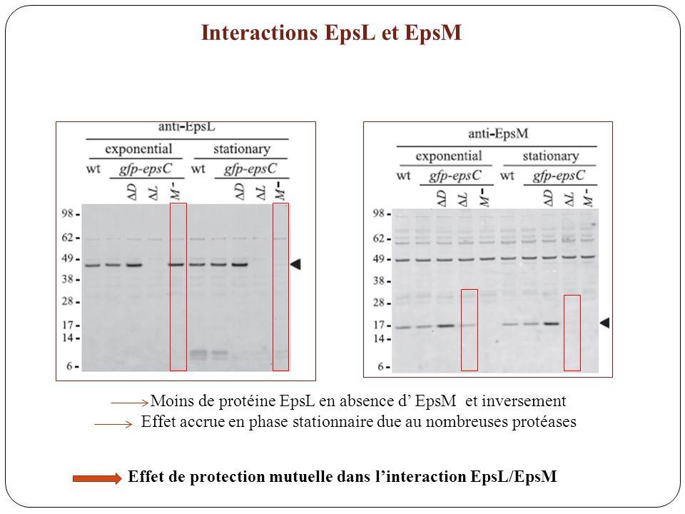 Interactions EpsL et EpsM
