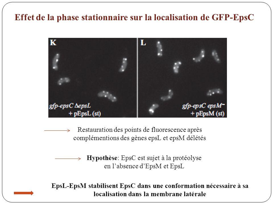 Effet de la phase stationnaire sur la localisation de GFP-EpsC