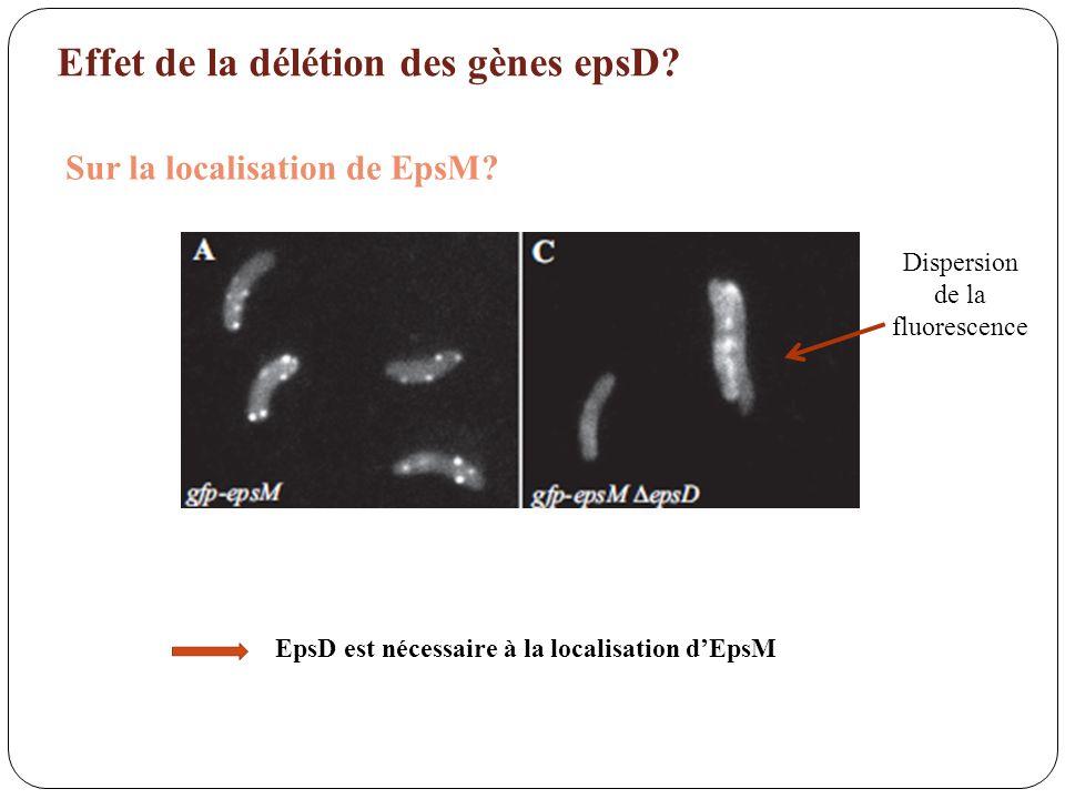 EpsD est nécessaire à la localisation d'EpsM