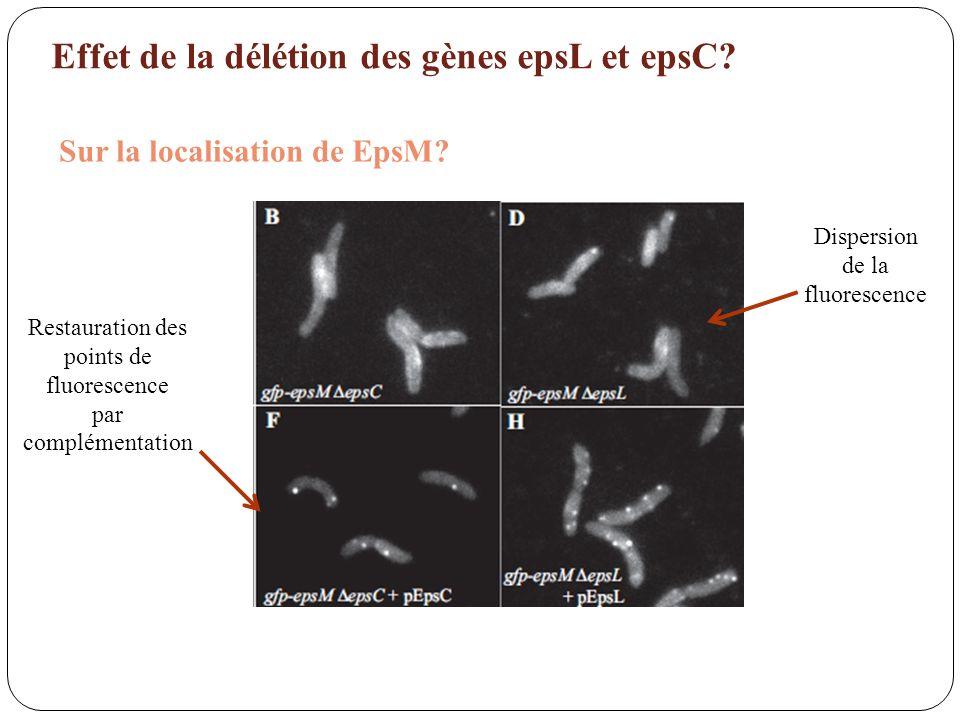 Effet de la délétion des gènes epsL et epsC