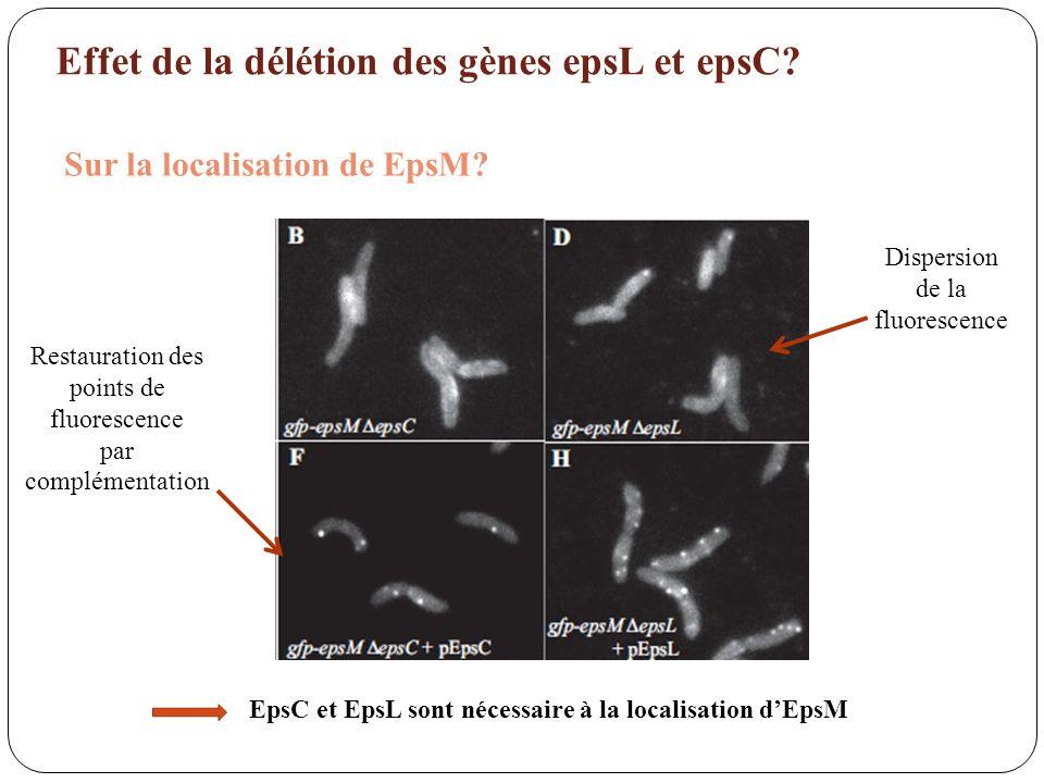 EpsC et EpsL sont nécessaire à la localisation d'EpsM