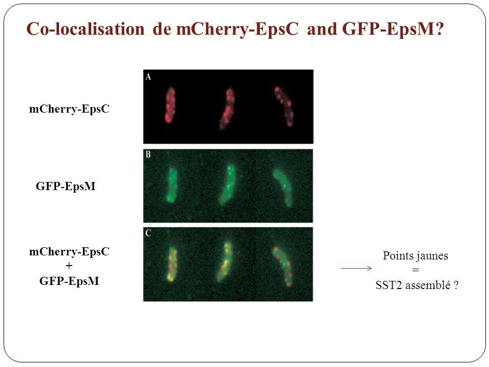 Co-localisation de mCherry-EpsC and GFP-EpsM