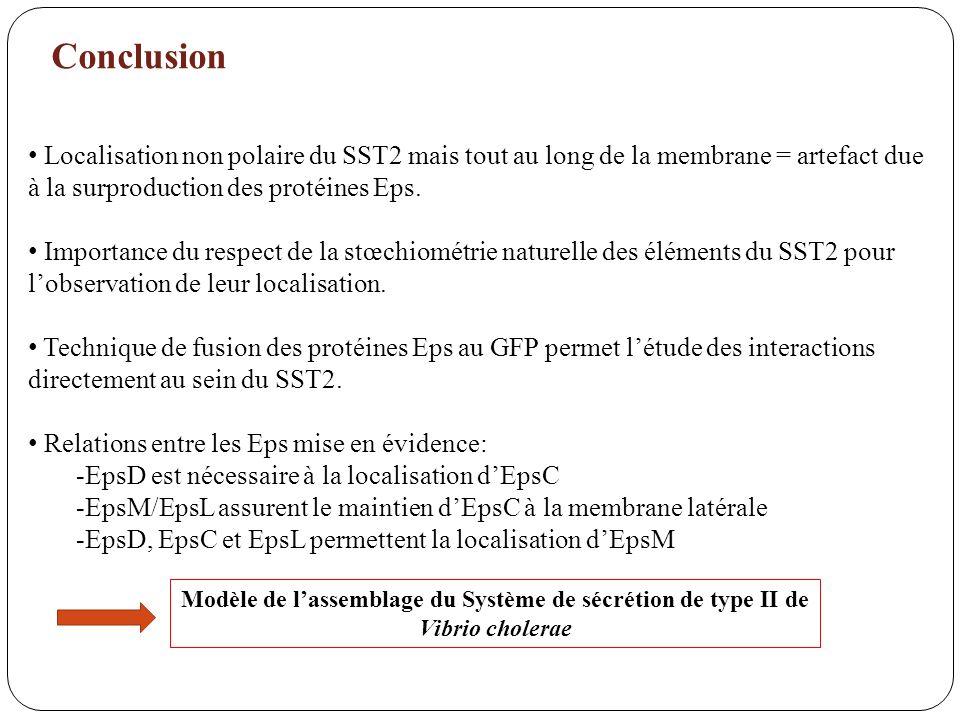Conclusion Localisation non polaire du SST2 mais tout au long de la membrane = artefact due à la surproduction des protéines Eps.