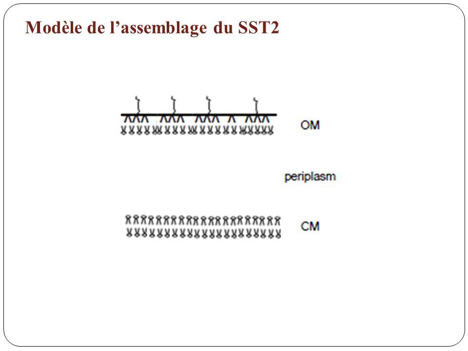 Modèle de l'assemblage du SST2