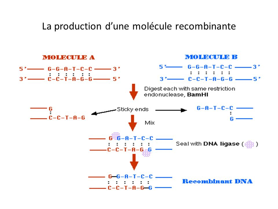 La production d'une molécule recombinante