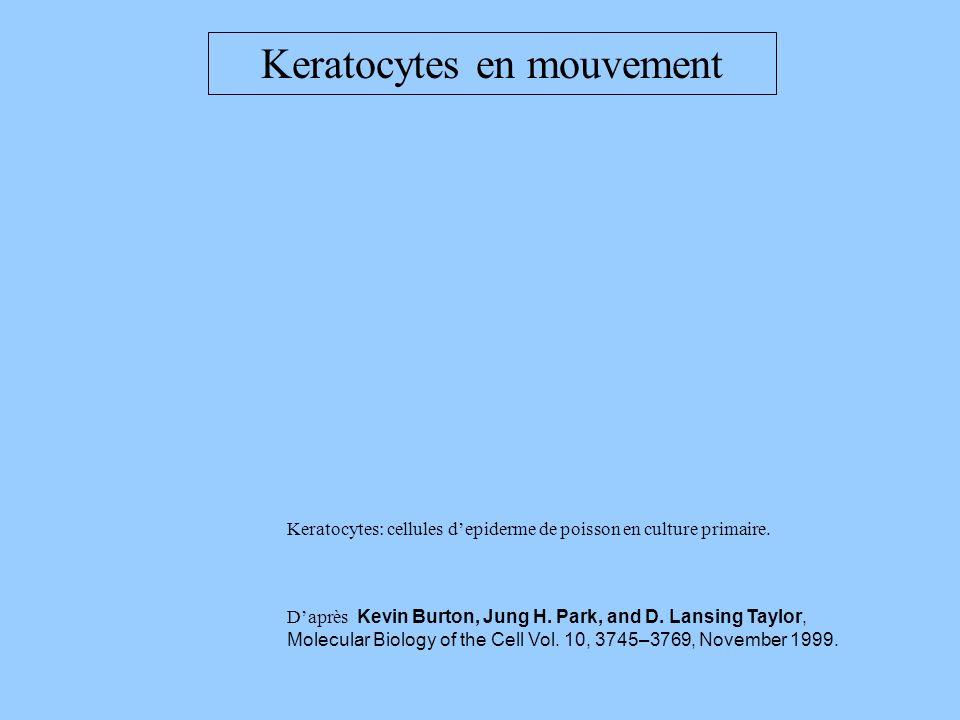 Keratocytes en mouvement