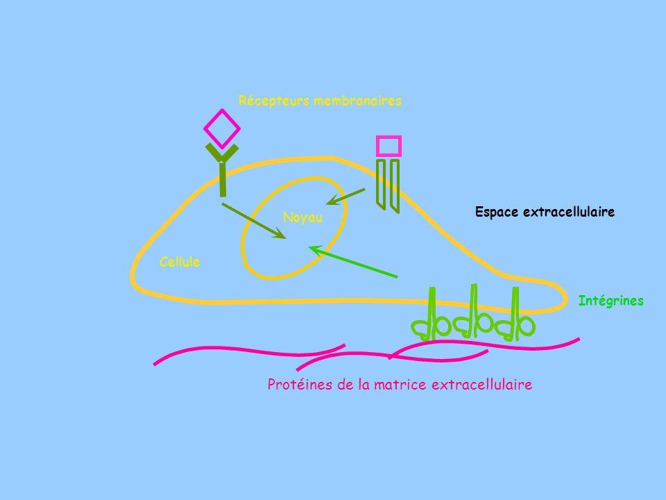 Protéines de la matrice extracellulaire