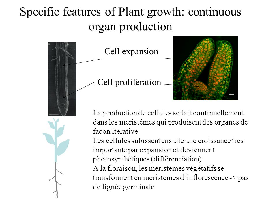 Specific features of Plant growth: continuous organ production