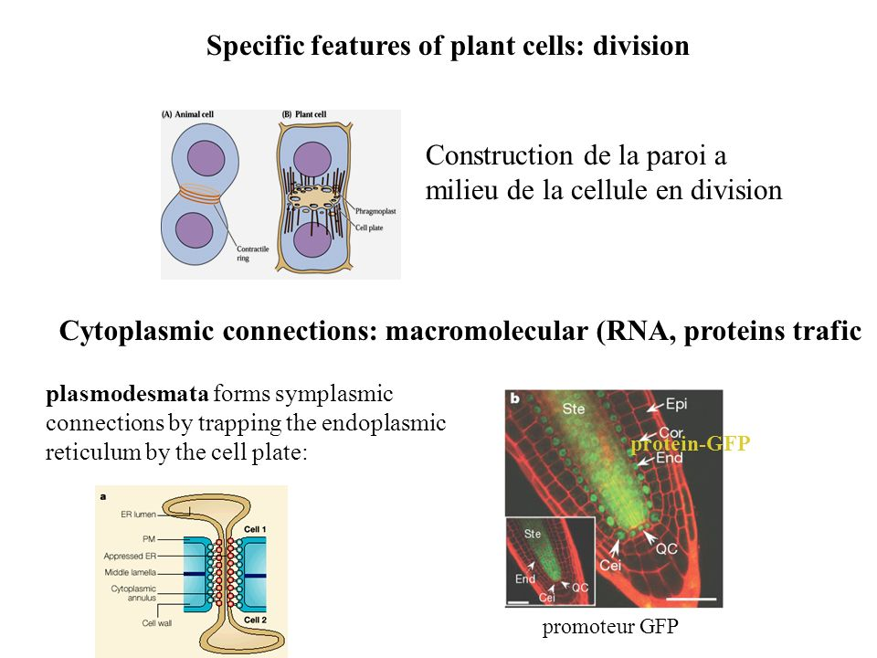 Specific features of plant cells: division
