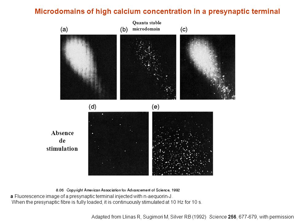 Microdomains of high calcium concentration in a presynaptic terminal