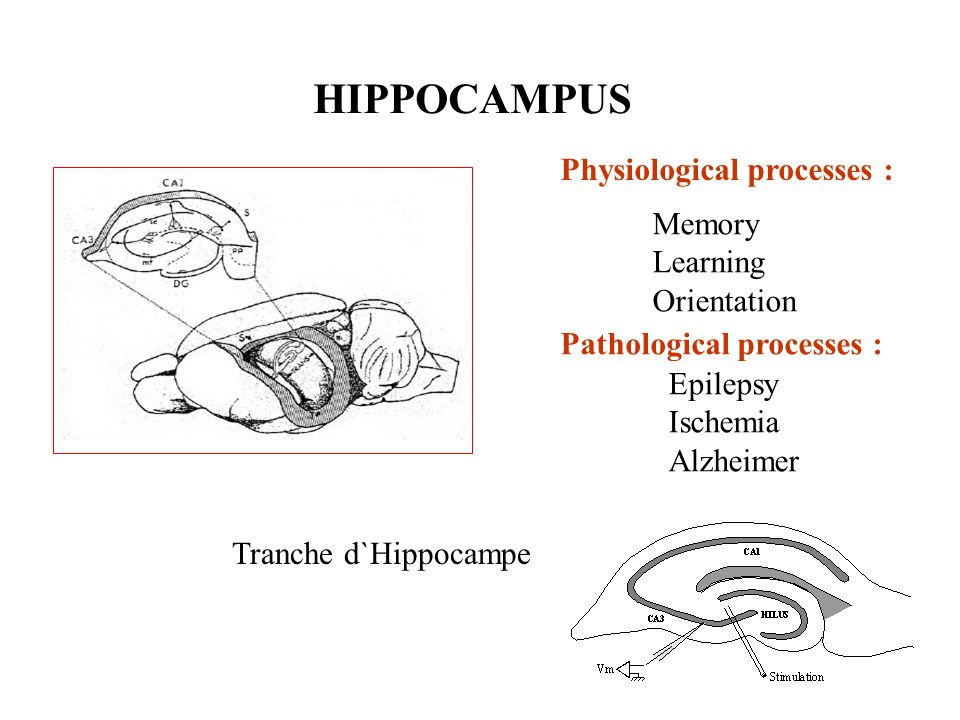 HIPPOCAMPUS Physiological processes : Memory Learning Orientation