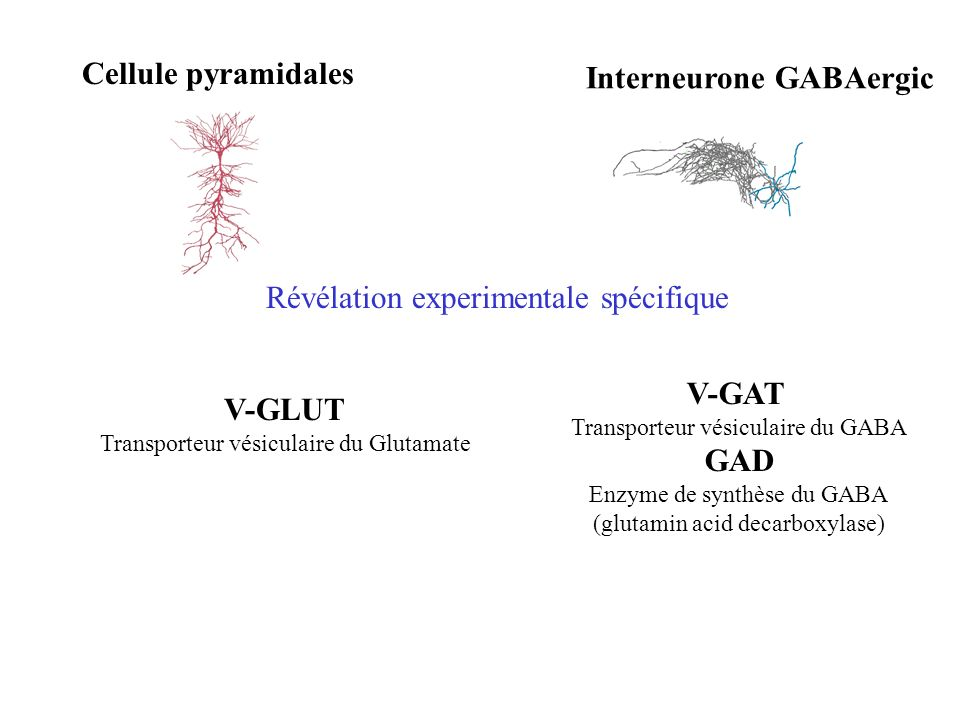 Interneurone GABAergic