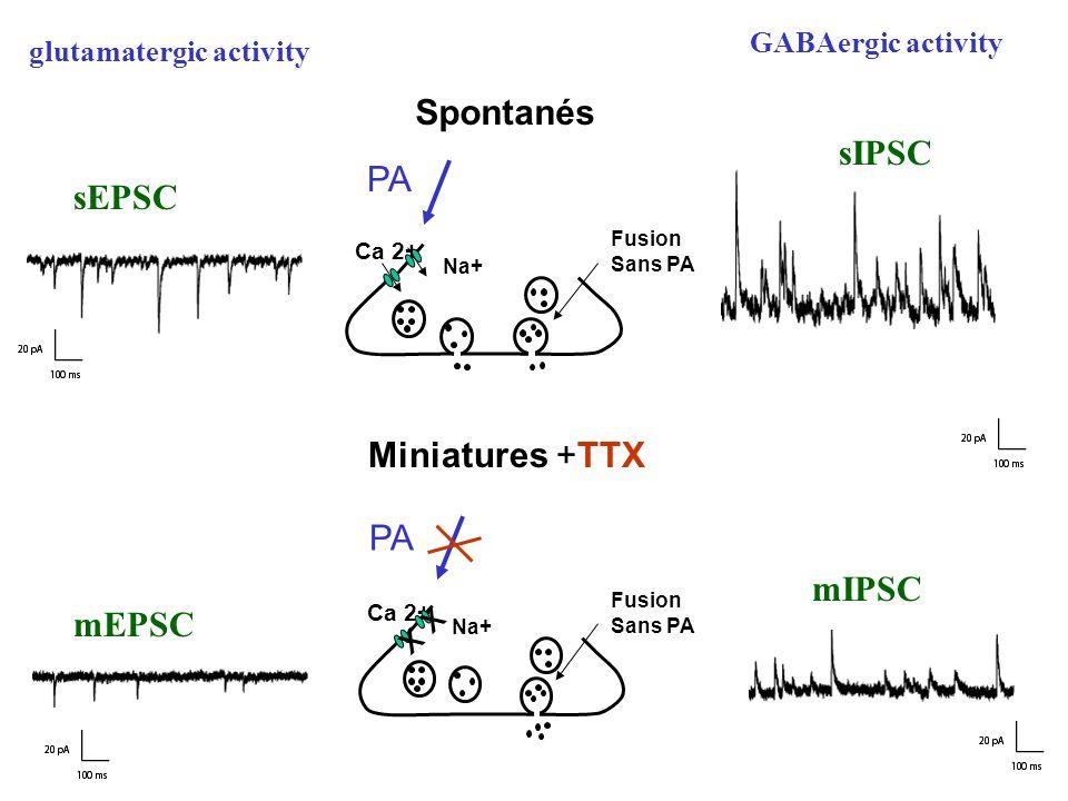 x Spontanés sIPSC PA sEPSC Miniatures +TTX PA mIPSC mEPSC