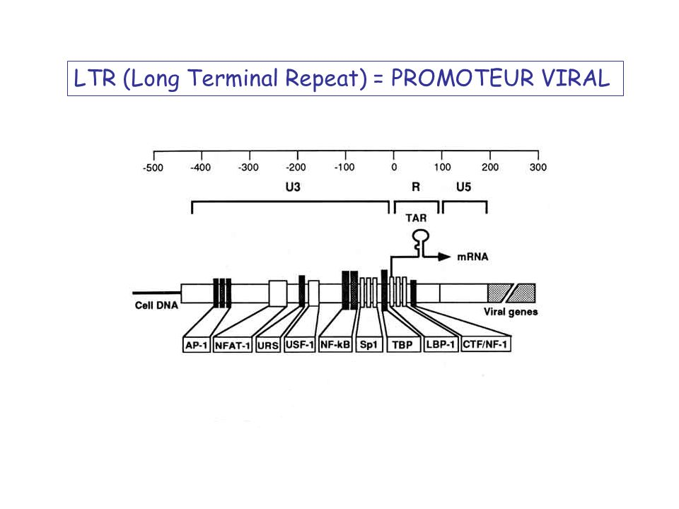 LTR (Long Terminal Repeat) = PROMOTEUR VIRAL