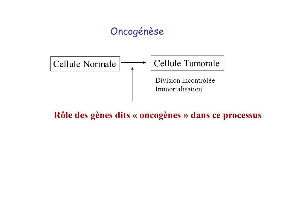 Rôle des gènes dits « oncogènes » dans ce processus